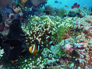 Reef scene in Raja Ampat. Sea and Sea DX-2G with wide-ang... by Morgan Ashton 